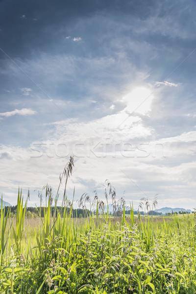 Green reed backlit Stock photo © w20er