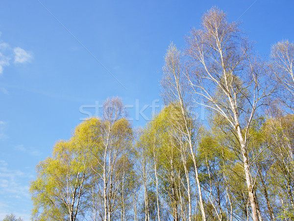 Birch Forest background Stock photo © w20er