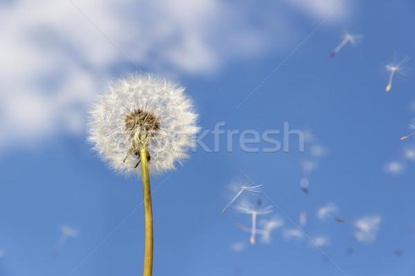 dandelion flying pollen Stock photo © w20er