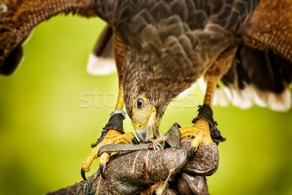 Eating raptor bild Stock photo © w20er