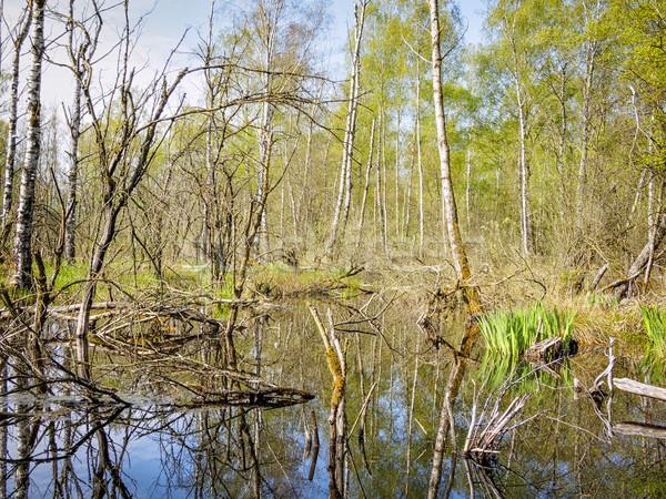 береза лес изображение пейзаж природы деревья Сток-фото © w20er