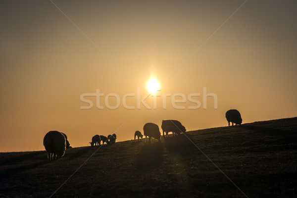 Flock of sheep at sunset Stock photo © w20er