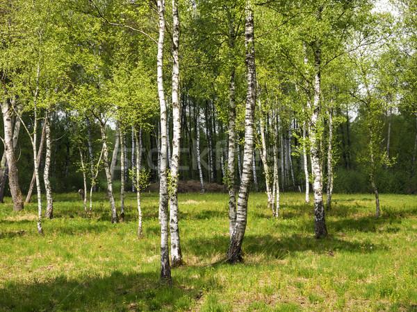 Nyírfa erdő kép tájkép természet fák Stock fotó © w20er
