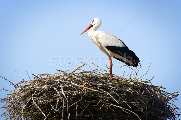 Stork standing in nest Stock photo © w20er