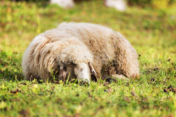 寝 羊 秋 画像 草原 夏 ストックフォト © w20er