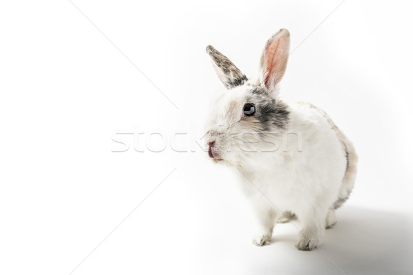 Rabbit on white background Stock photo © w20er