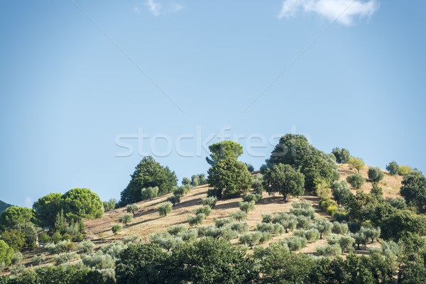 Hill with olive trees Stock photo © w20er