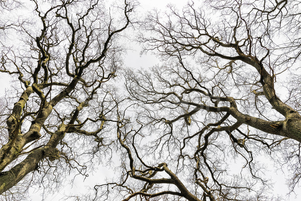 Leafless Treetops Stock photo © w20er