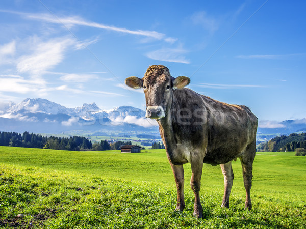 cow with alps Stock photo © w20er