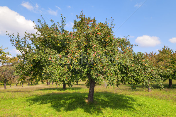 Apple trees Lake Constance Stock photo © w20er
