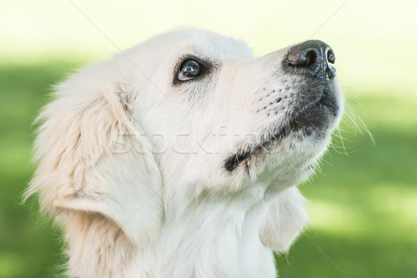 Portre golden retriever açık bahar köpek doğa Stok fotoğraf © w20er