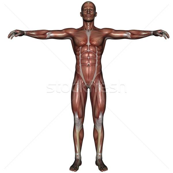 3D músculo homem prestados branco isolado Foto stock © Wampa