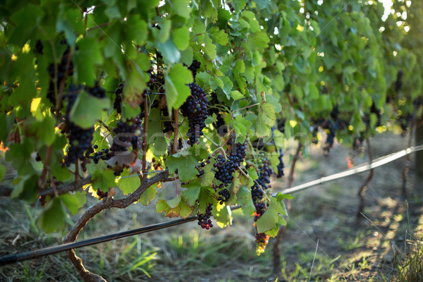 Close up of grapes growing on plants Stock photo © wavebreak_media