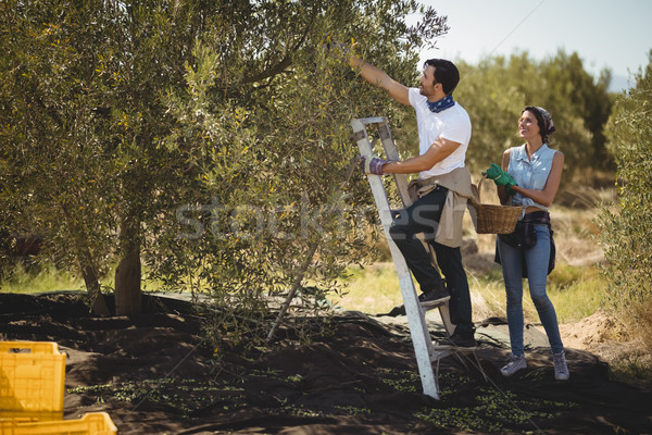 Woman holding basket while man plucking olives at farm Stock photo © wavebreak_media
