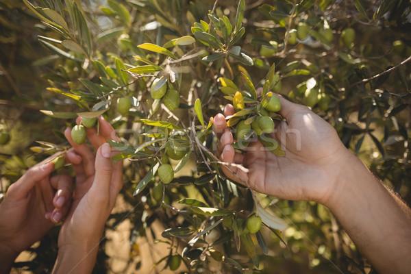 Handen paar olijfboom boerderij vrouw Stockfoto © wavebreak_media