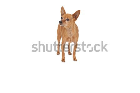 Tam uzunlukta evcil hayvan köpek ayakta beyaz hayvan Stok fotoğraf © wavebreak_media