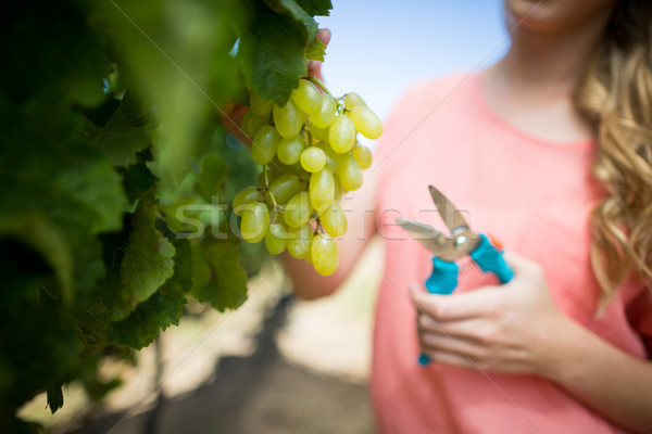 Mid section of woman cutting grapes through pruning shears at vineyard Stock photo © wavebreak_media