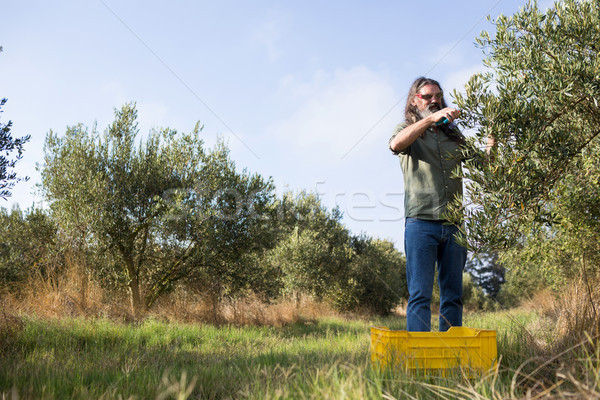 Man pruning olive tree in farm Stock photo © wavebreak_media