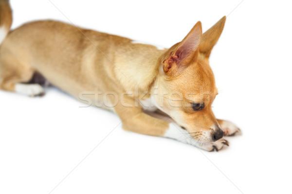 Zdjęcia stock: Cute · psa · biały