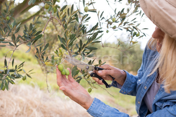 Close-up of woman pruning olive tree in farm Stock photo © wavebreak_media