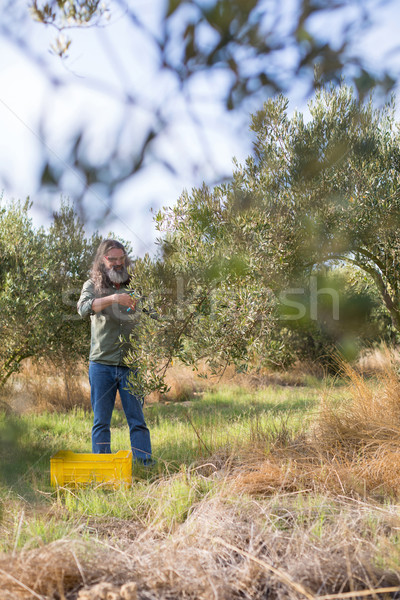 Man pruning olive tree in farm Stock photo © wavebreak_media
