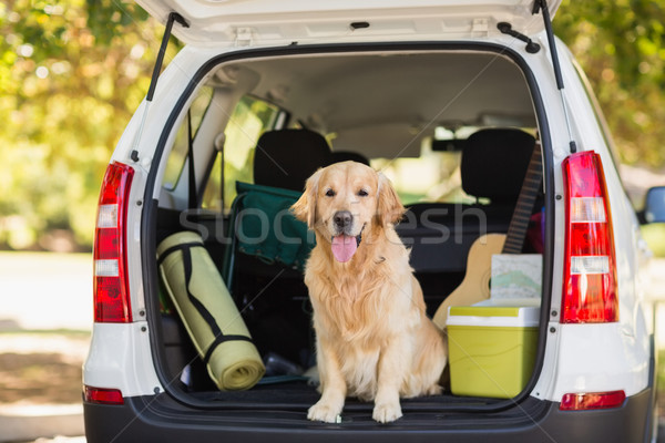 Domestic dog in car trunk Stock photo © wavebreak_media