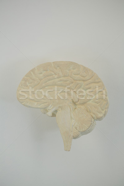 Close-up of human brain Stock photo © wavebreak_media