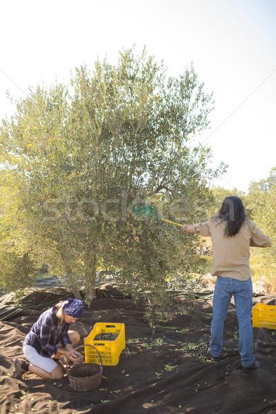 Couple harvesting olive with rack Stock photo © wavebreak_media