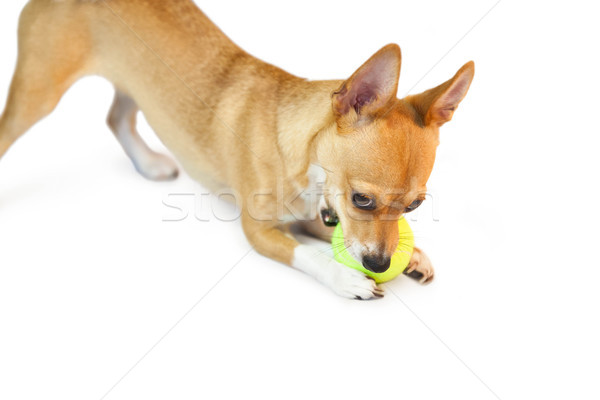 Cute little dog chewing on ball Stock photo © wavebreak_media