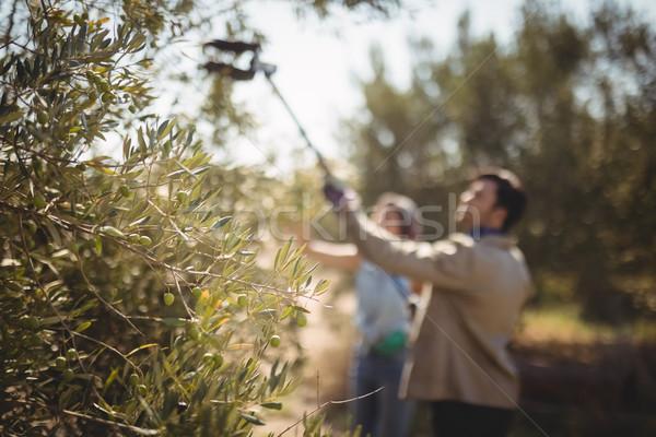 Couple with equipment plucking olives at farm Stock photo © wavebreak_media