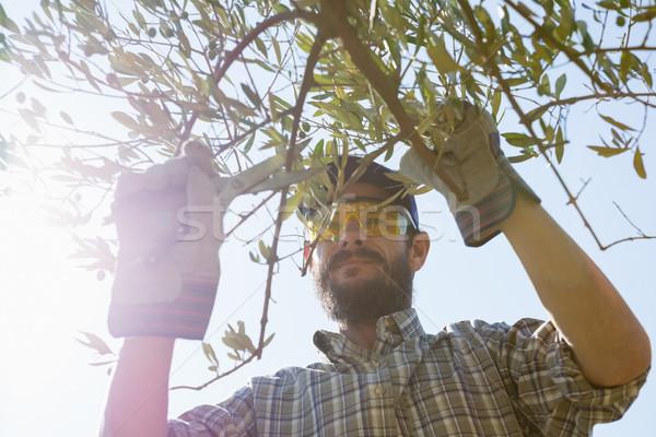 çiftçi zeytin makas ağaç Stok fotoğraf © wavebreak_media