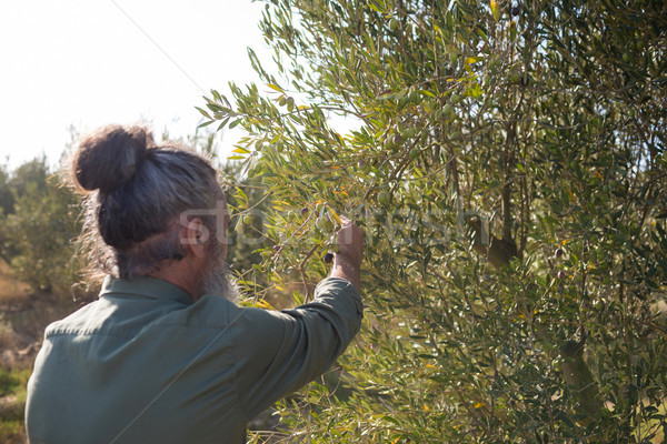 Man harvesting olives from tree Stock photo © wavebreak_media
