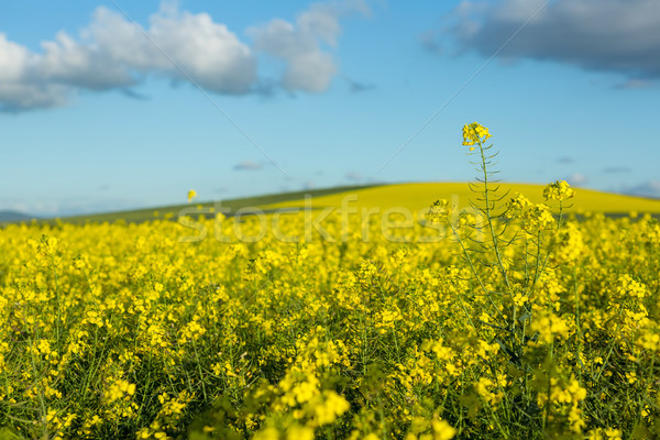 View of beautiful mustard field Stock photo © wavebreak_media