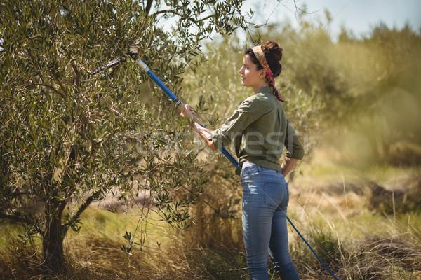 Young woman using olive rake at farm Stock photo © wavebreak_media