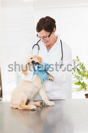 Veterinarian examining a cute dog Stock photo © wavebreak_media