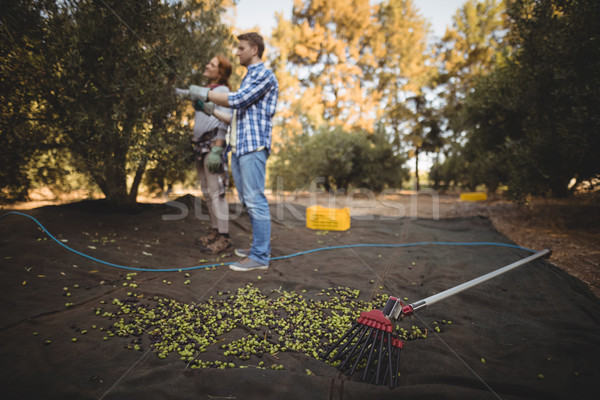 молодым человеком женщину Постоянный оливками грабли фермы Сток-фото © wavebreak_media