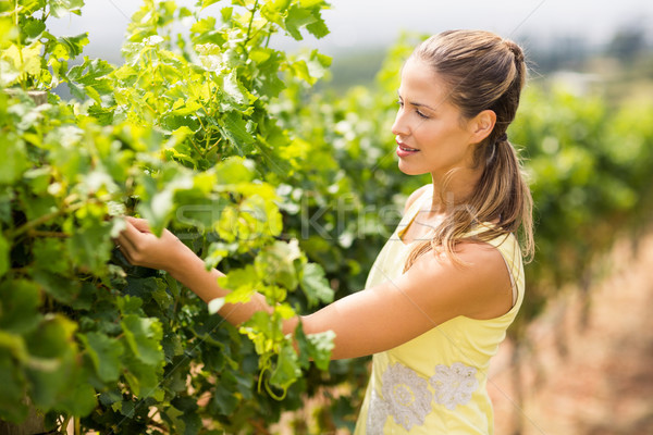 Female vintner inspecting grape crop Stock photo © wavebreak_media