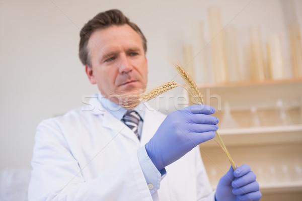 Scientist examining sheaf  Stock photo © wavebreak_media