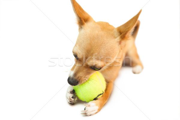 Cute weinig hond kauwen bal witte Stockfoto © wavebreak_media