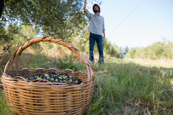 Farmer harvesting a olives from tree Stock photo © wavebreak_media