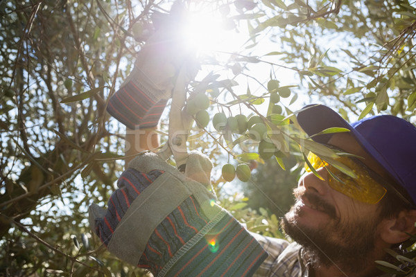 Agricoltore olive forbici albero Foto d'archivio © wavebreak_media