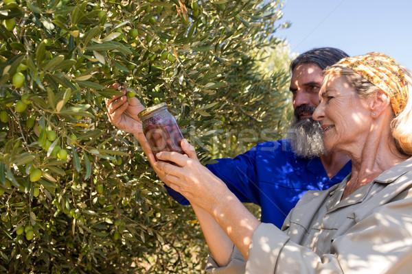 Couple examining olives in farm Stock photo © wavebreak_media