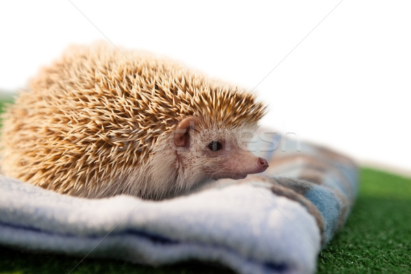Porcupine on towel Stock photo © wavebreak_media