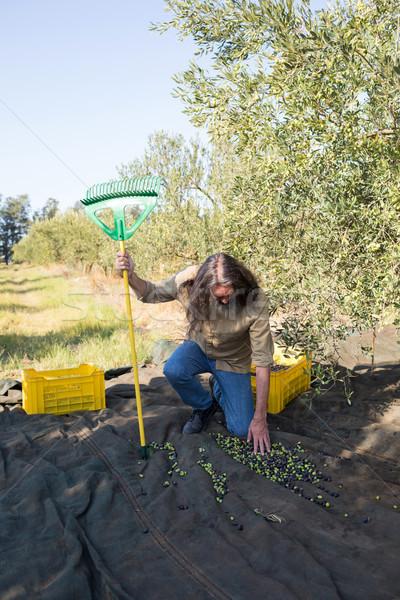 Man touching harvested olives Stock photo © wavebreak_media