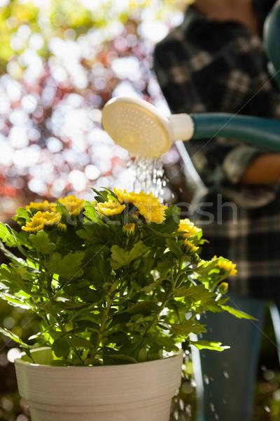 Woman watering yellow flowers in backyard Stock photo © wavebreak_media