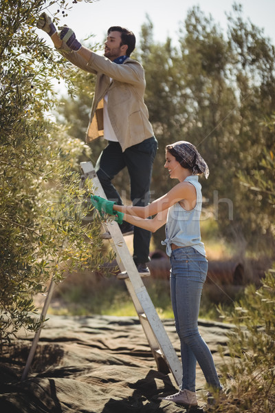 Smiling young couple plucking olives at farm Stock photo © wavebreak_media