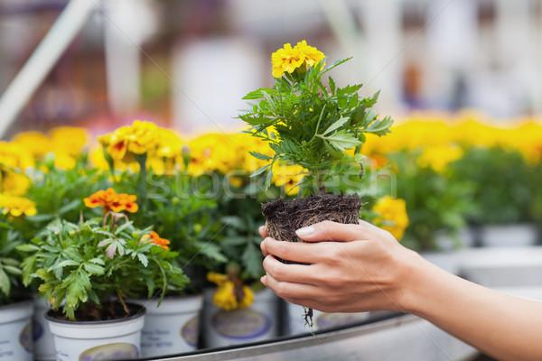 Flowers being put in pots in garden center Stock photo © wavebreak_media