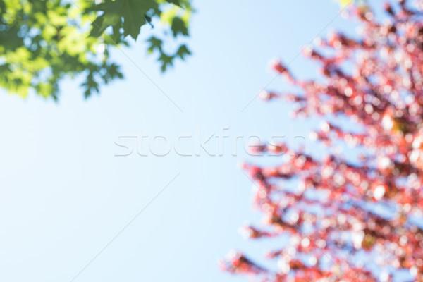 Esdoorn bladeren hemel voorjaar Stockfoto © wavebreak_media