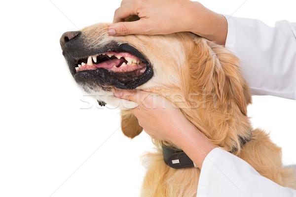 állatorvos megvizsgál fogak aranyos kutya fehér Stock fotó © wavebreak_media
