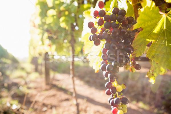 érett szőlő szőlőskert közelkép divat levél Stock fotó © wavebreak_media